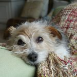 Farne the dog at The Coach House bed and breakfast Old Gore