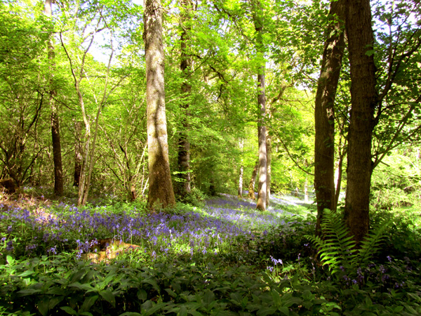 The Coach House Bed and Breakfast Herefordshire local woods with bluebells